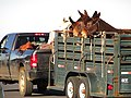 Starr-170125-6505-Trisetum glomeratum-truck and mules in trailer pulling into paking lot-Hawaii Visitor Center Haleakala National Park-Maui (33215733942).jpg