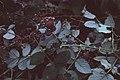 Starr-980501-4013-Rubus niveus-form a fruit-Kula-Maui (24487446516).jpg