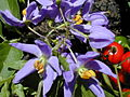 Starr 020323-0064 Solanum seaforthianum.jpg
