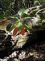Starr 020501-0036 Cinchona pubescens.jpg