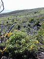 Starr 030222-0094 Bidens micrantha subsp. kalealaha.jpg