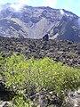 Starr 040813-0017 Sophora chrysophylla.jpg