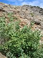 Starr 050404-5399 Chenopodium oahuense.jpg