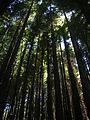 Starr 050831-4276 Sequoia sempervirens.jpg