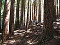 Starr 050831-7735 Sequoia sempervirens.jpg