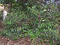 Starr 061105-9608 Psydrax odorata.jpg