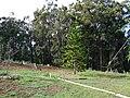 Starr 070112-3373 Araucaria columnaris.jpg