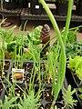 Starr 080117-1585 Allium cepa.jpg