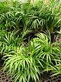 Starr 080117-1605 Chrysalidocarpus lutescens.jpg