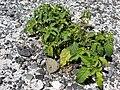 Starr 080604-6057 Solanum americanum.jpg