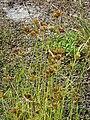 Starr 080604-6288 Cyperus polystachyos.jpg