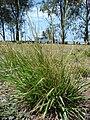 Starr 080613-8803 Unknown poaceae.jpg