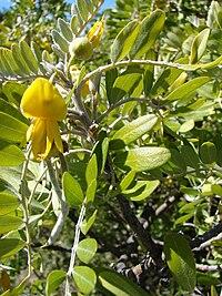 Starr 081014-0282 Sophora chrysophylla