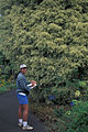 Starr 980529-4268 Ficus benjamina.jpg