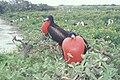Starr 990412-0474 Tournefortia argentea.jpg