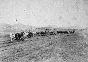 Christmas Creek, Queensland - Bullock teams transporting timber, 1910