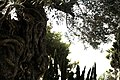 Stella Maris Monastery 08 - Old Olive Tree in the yard.jpg