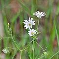 Stellaria holostea in Aveyron (5).jpg