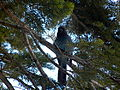 Steller's Jay in Yosemite National Park.JPG