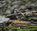 Stercorarius antarcticus -Shingle Cove, Coronation Island, South Orkney Islands, British Antarctic Territory -chick-8.jpg