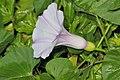 Stictocardia tiliifolia (5).jpg