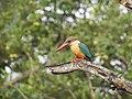 Stork billed kingfisher-kannur-kattampally - 6.jpg