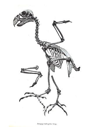 Kakapo - Skeleton