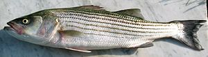 Bass (fish) - Striped bass (Morone saxatilis)