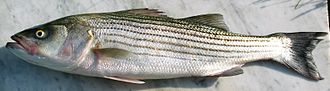 Striped bass - Image: Striped Bass