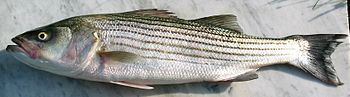 Striped Bass (Morone saxatilis): Caught in Atl...