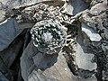 Strombocactusdisciformisqueretaro.JPG
