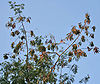Subabool (Leucaena leucocephala) dried pods & leaves at canopy in Kolkata W IMG 4307.jpg