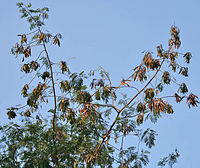 Subabool (Leucaena leucocephala) dried pods & leaves at canopy in Kolkata W IMG 4307.jpg