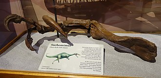 Spinosauridae - Reconstructed arm of Suchomimus, Museum of Ancient Life, Utah