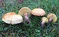 Suillus clintonianus (Peck) Kuntze 805099.jpg