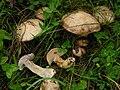 Suillus viscidus 1.jpg