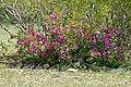 Summer Impala Lily (Adenium swazicum) (15820191734).jpg