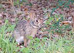 Swamp Rabbit (Sylvilagus aquaticus).jpg