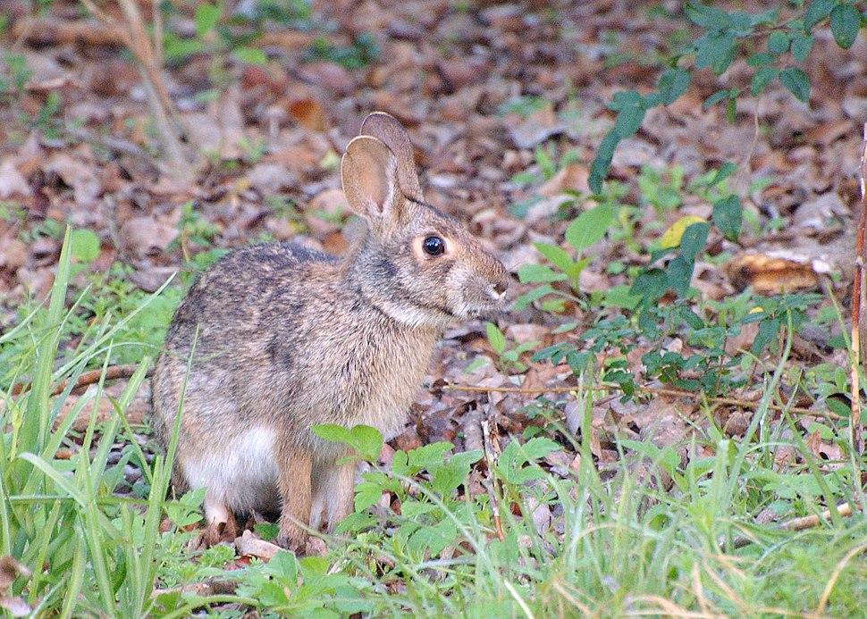 Swamp Rabbit (Sylvilagus aquaticus)