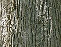 Swamp White Oak (Quercus bicolor) bark detail.jpg
