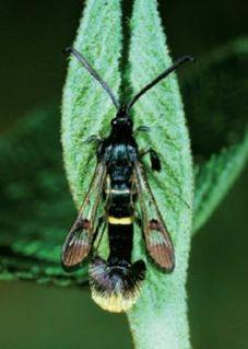 <i>Synanthedon andrenaeformis</i> Species of moth