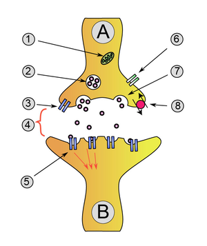 Neuron A (transmitting) to neuron B (receiving)1. Mitochondria 2. synaptic vesicle with neurotransmitters 3. Autoreceptor4. Synapse with neurotransmitter released (serotonin) 5. Postsynaptic receptors activated by neurotransmitter (induction of a postsynaptic potential) 6. Calcium channel7. Exocytosis of a vesicle8. Recaptured neurotransmitter
