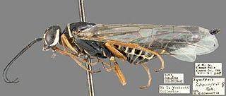 Anaxyelidae family of insects