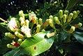 Syzygium aromaticum on tree.jpg