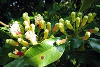 Syzygium aromaticum on tree.jpg