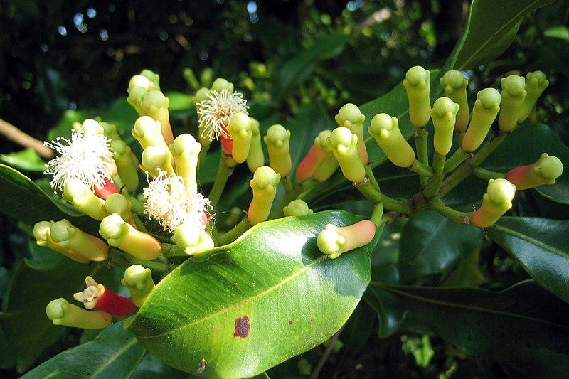 File:Syzygium aromaticum on tree.jpg