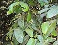 Syzygium mundagam 09.JPG