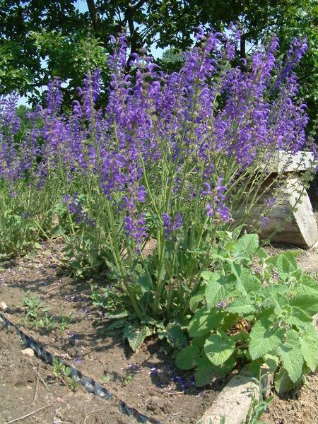 File:Szalwia lakowa Salvia pratensis.jpg