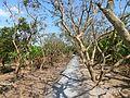 Tân Thạch, Châu Thành, Bến Tre, Vietnam - panoramio (12).jpg