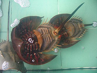 Book lung - Underside of a female horseshoe crab showing the legs and book gills